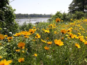 Sand Coreopsis on the south end of the Calumet Lagoon.