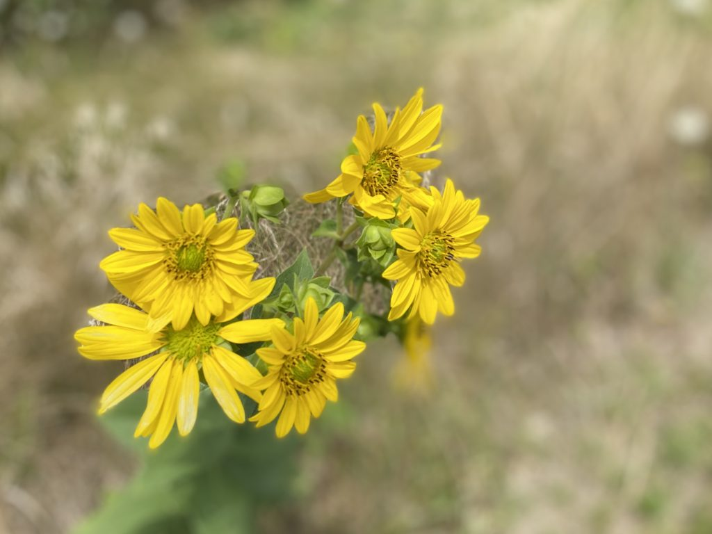 Native Sunflower (Silphium Integrifolium)