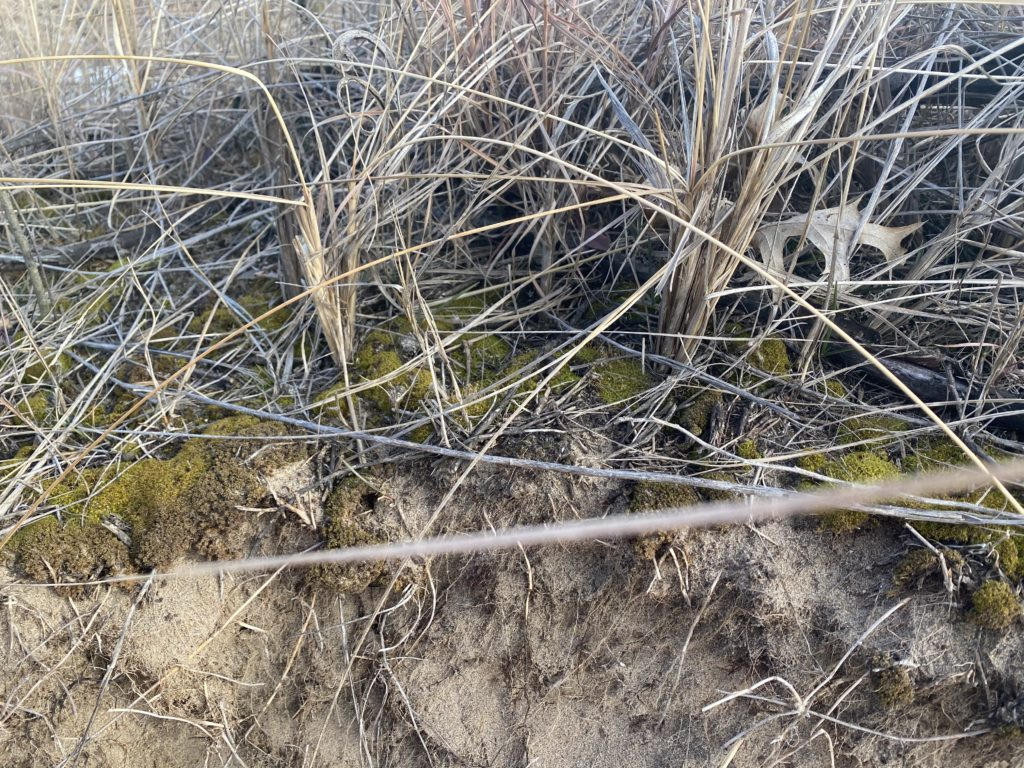 Moss Stays green under the dune grass, even in winter!!